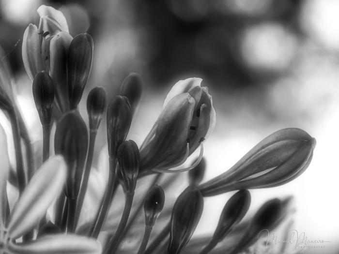 0208 Black and White Flower Macro ©Manuel Maneiro
